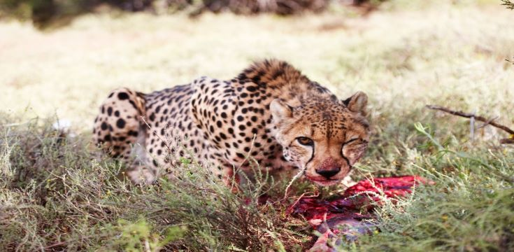 MOUNT-CAMDEBOO-Cheetah-on-kill (002)